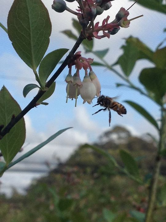 bees and blueberries