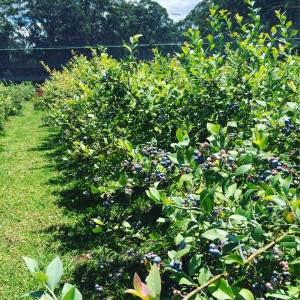 2015/16 Blueberry Picking Season comes to a close